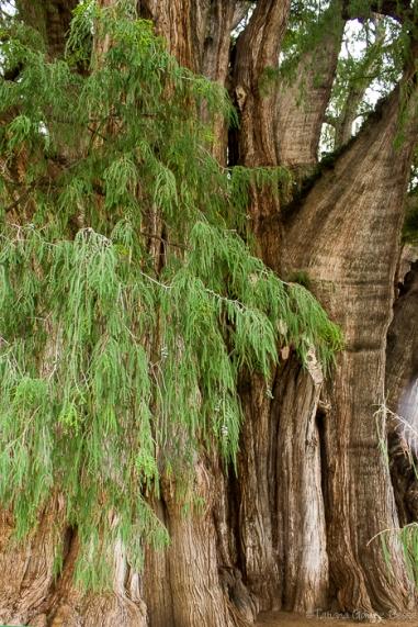 El Árbol del Tule es el árbol con el diámetro de tronco más grande del mundo. Es un ahuehuete (taxodium mucronatum) con una circunferencia de aproximadamente 42 metros y una altura de 40 metros. Con un diámetro de 14.05 metros, se estima que serían necesarias al menos 30 personas con las manos entrelazadas para poder abarcar su tronco y en su sombra caben aproximadamente 500 personas.1 Su volumen se calcula en unos 816 829 m³, con un peso de aproximadamente 636 toneladas,2 cuando en 1996 se inició el corte de la madera inerte se produjeron 10 toneladas. Se localiza en el atrio de la iglesia de Santa María del Tule en Oaxaca, México, aproximadamente a 12 km de la capital del estado, Oaxaca de Juárez, sobre la carretera a Mitla.3 2 Su edad real es desconocida, pero según estimaciones es de más de 2000 años